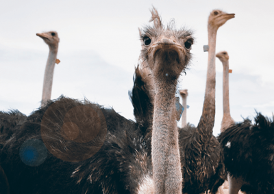 ostrich_v1